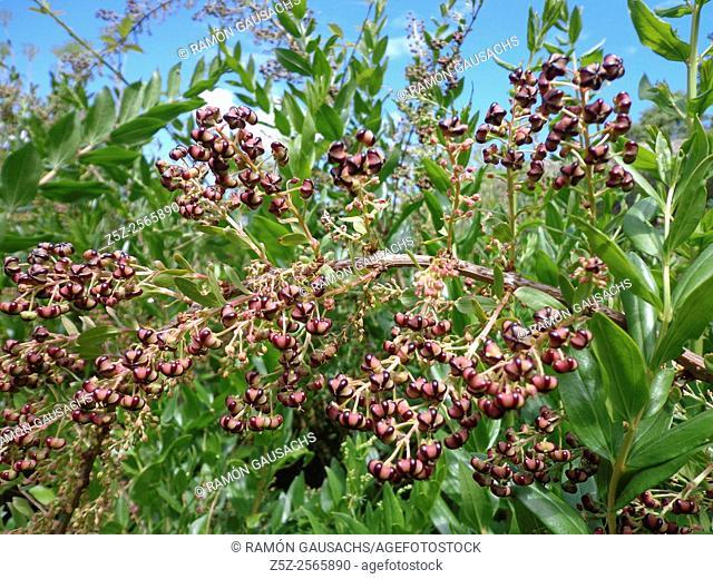Redoul (Coriaria myrtifolia). Catalonia, Spain