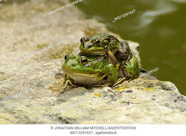 Iberian Green Frogs ( Pelophylax perezi ) - also known as Perez's Frog