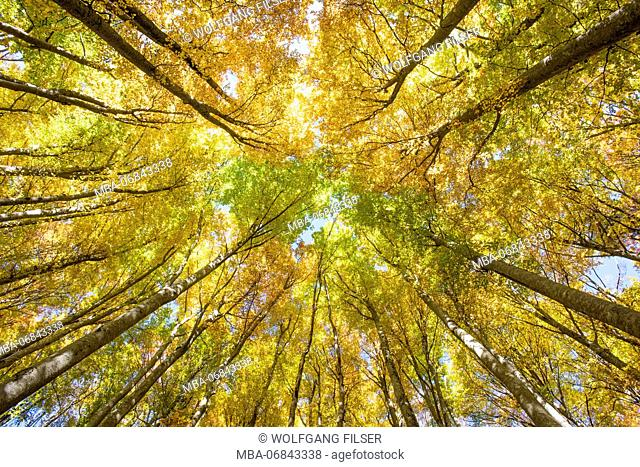 Golden October, autumn, beech forest, sunbeams