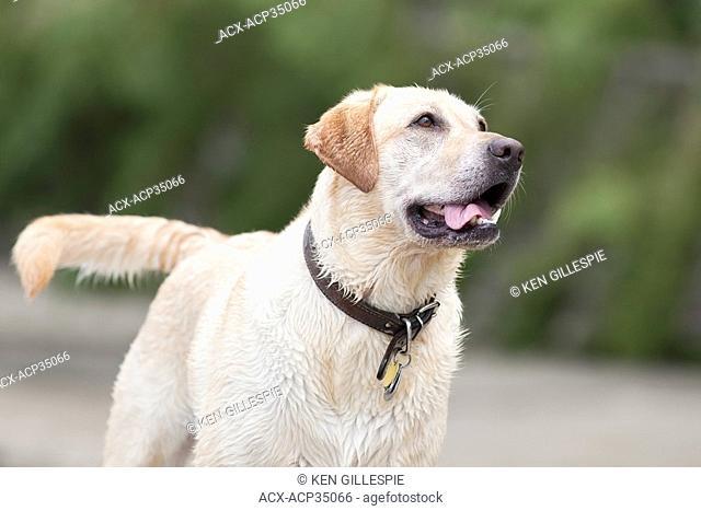 Portrait of a wet, happy Yellow Labrador Retriever on a dog friendly beach. Hecla Island Provincial Park, Manitoba, Canada