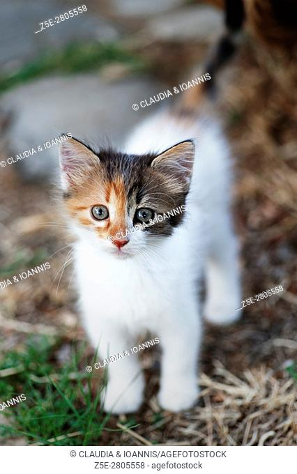 A calico kitten is looking up at camera