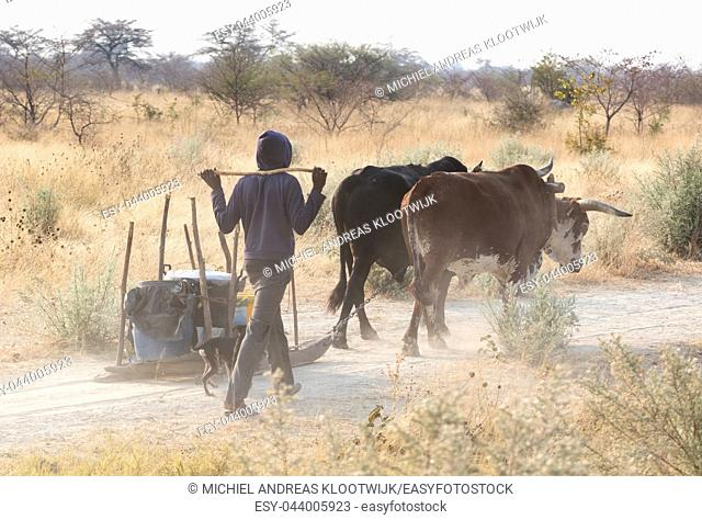 African boy walking with two cows - Botswana