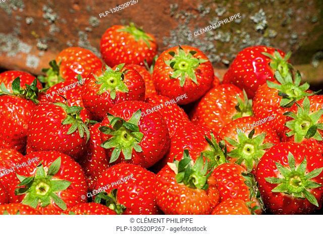 Harvested garden strawberries (Fragaria × ananassa) in summer