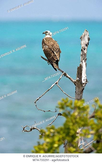 Osprey Pandion haliaetus aka Seahawk