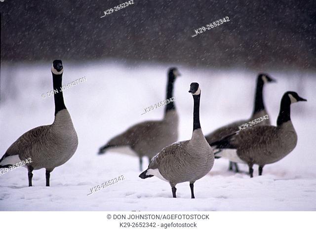Canada goose (Branta canadensis) Migratory geese in field in early spring snow storm, Greater Sudbury, Ontario, Canada