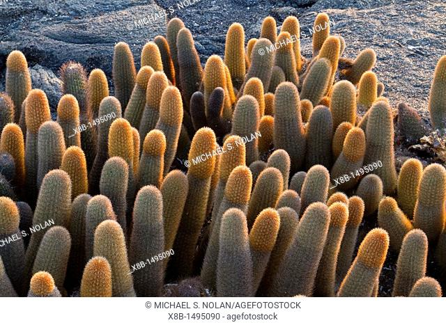 The endemic lava cactus Brachycereus spp cactus growing in the Galapagos Island Archipelago, Ecuador  MORE INFO There are two endemic genera Jasminocereus and...