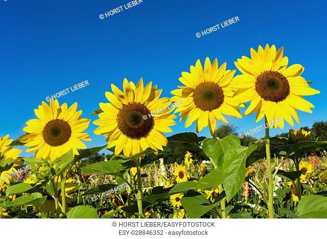 Sunflower field against blue sky-Baden-Baden, Germany