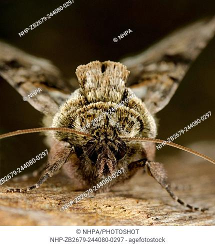 Extreme close-up frontal view of a Spectacle moth (Abrostola triplasia) resting on wood showing its distinctive 'spectacle' markings on the thorax