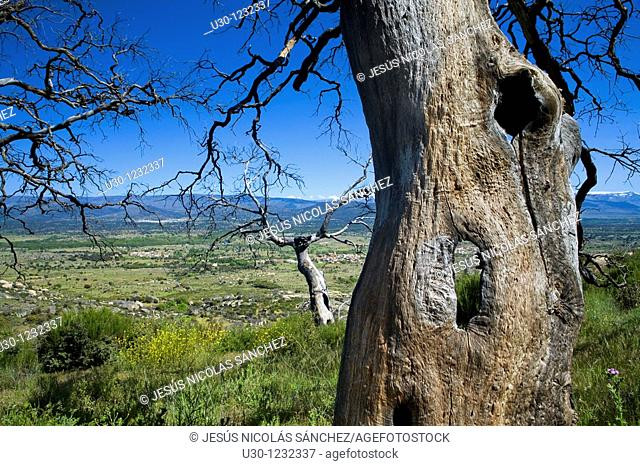 Bigs holm oaks burned by a forest fire in 2004  Cerro del Berrueco, archaeological site in Salamanca province, next to a small town called El Tejado