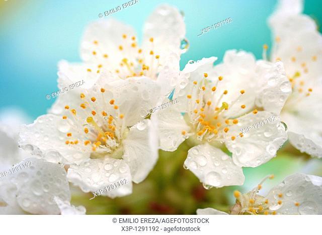 Dew on cherry flowers
