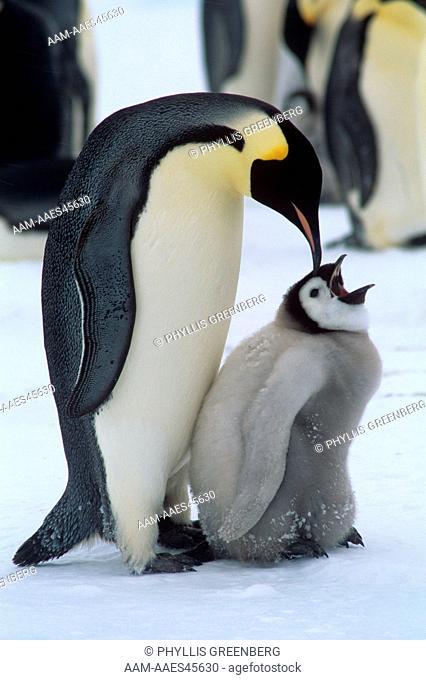 Emperor Penguin (Aptendytes forsteri) No Name rookery, Antarctica