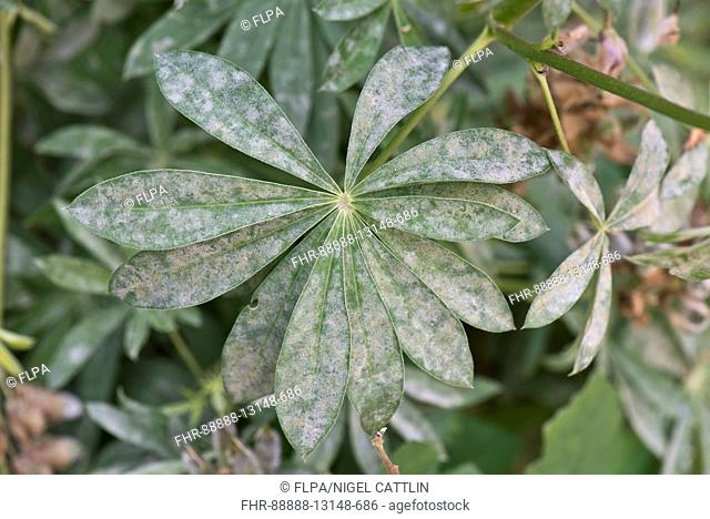 Powdery mildew on lupin, Lupinus sp., leaves