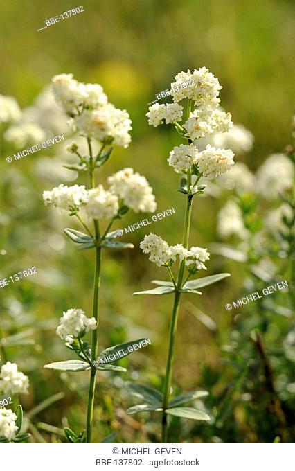 Flowering Northern Bedstraw