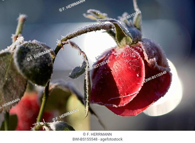 frostbitten rose blossom with hoar frost, dead on a branch, Germany