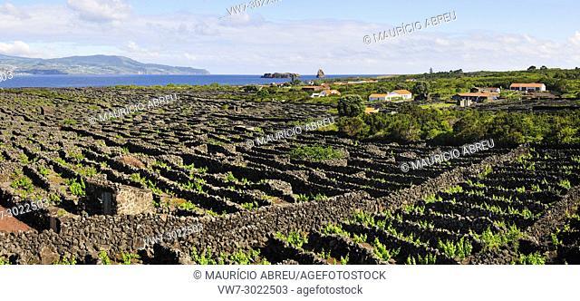 Vineyards inside lava walls at Criação Velha. A UNESCO World Heritage Site. Pico, Azores islands, Portugal