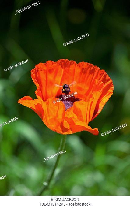 A bumble bee landing in an oriental poppy