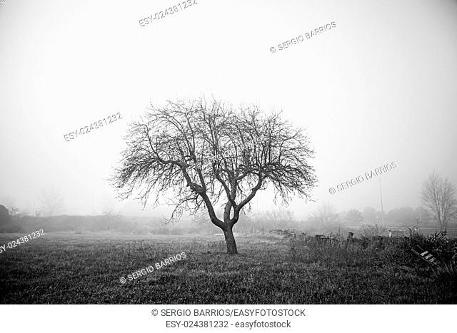 Dry tree in the mist, detail from a tree in the field, cold and fog