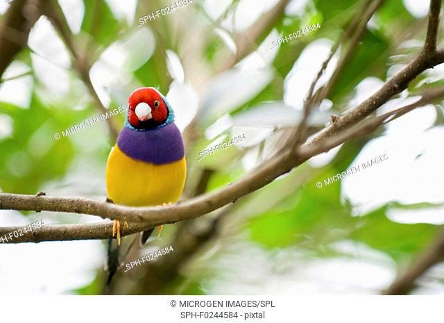 Gouldian finch female. Selective focus