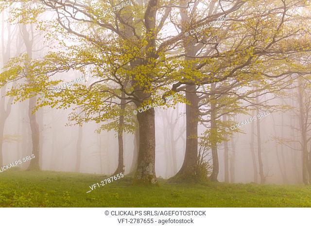 Europe,Italy ,Tuscan Emilian Appennines, the nature reserve in Italy ,biogenetic nature reserve of Badia Prataglia