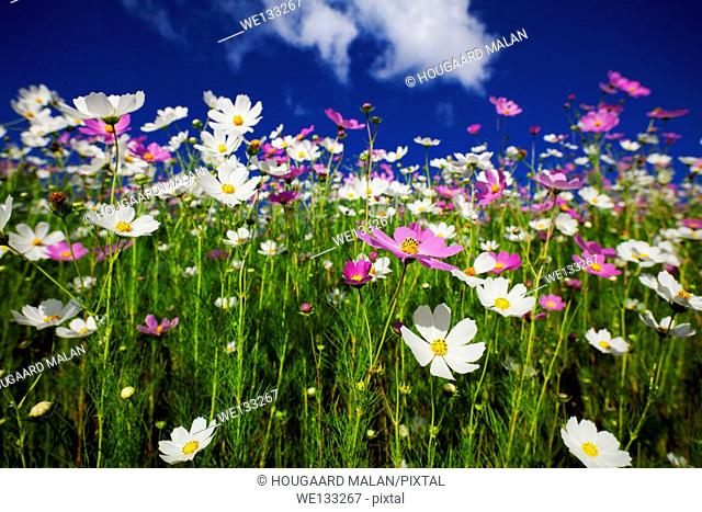 Wide angle photo of flowering cosmos against a sunny blue sky. Freestate, South Africa