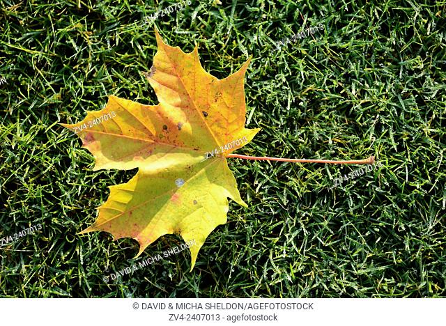 Close-up of Norway maple (Acer platanoides) leaves on a meadow in autumn