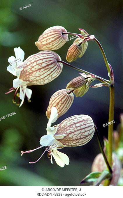 Bladder Campion, Belgium, Silene vulgaris