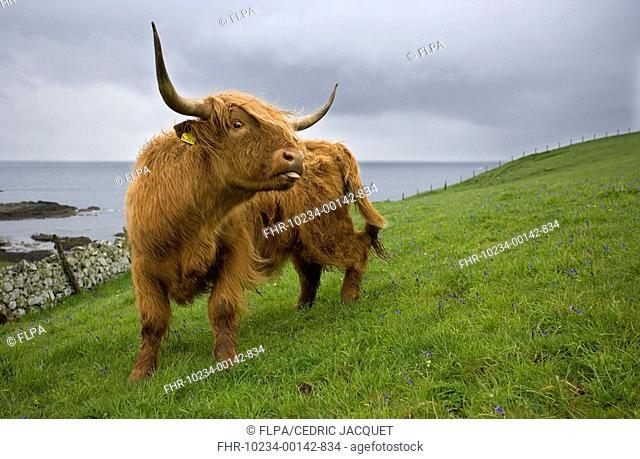 Highland Cattle, cow, standing in coastal meadow, Isle of Skye, Inner Hebrides, Scotland
