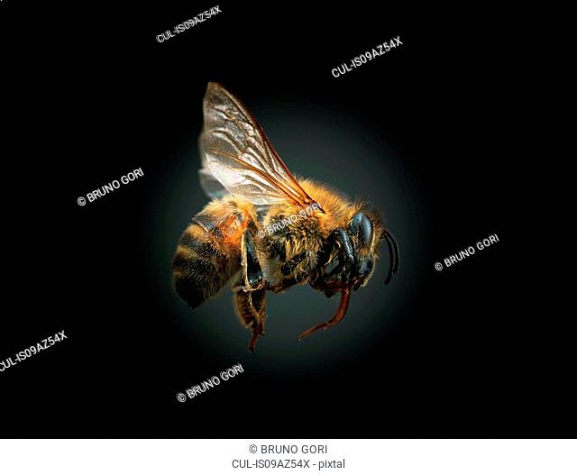 Bee against black background