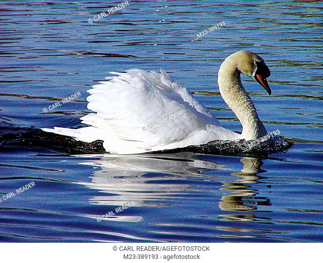 A mute swan (cygnus olor) displays while swimming in the Delaware River