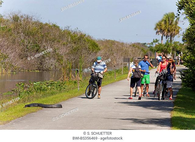 American alligator (Alligator mississippiensis), cyclists meeting an alligator at the wayside in the park, USA, Florida, Everglades National Park