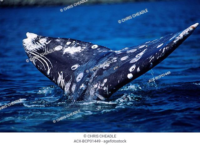 Grey Whale tail, Vancouver Island, British Columbia, Canada