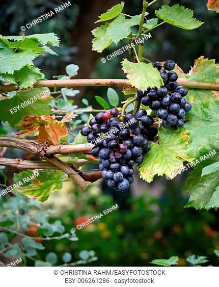 Grapes on vine stock in Mediterranean vineyard in September