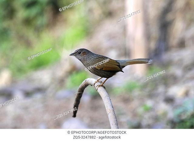Streaked Laughingthrush, Trochalopteron lineatum, Sattal, Nainital, Uttarakhand, India