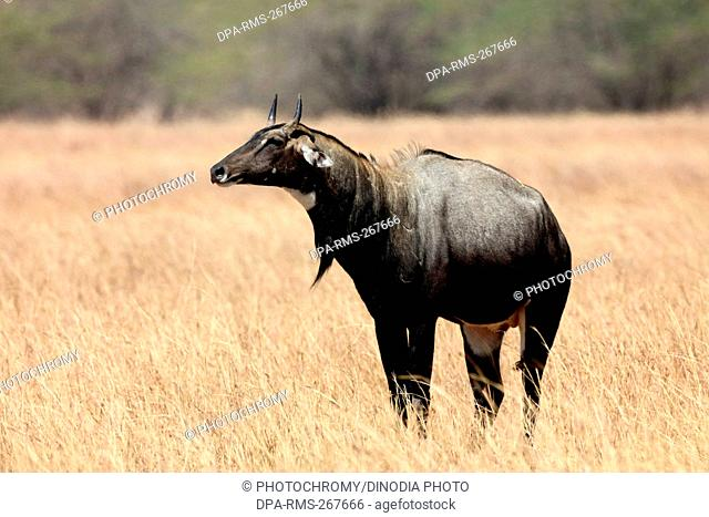 blue bull, velavadar, Gujarat, India, Asia