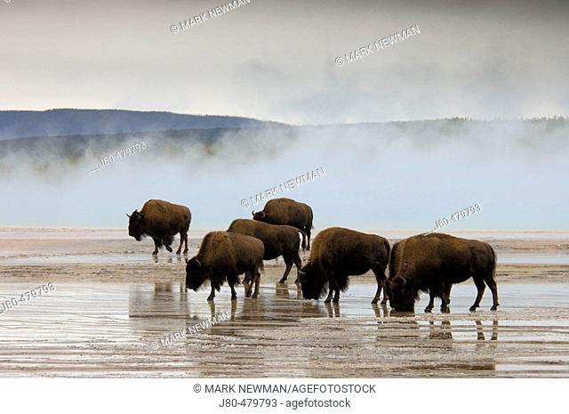 Bison. Yellowstone National Park. Wyoming. USA