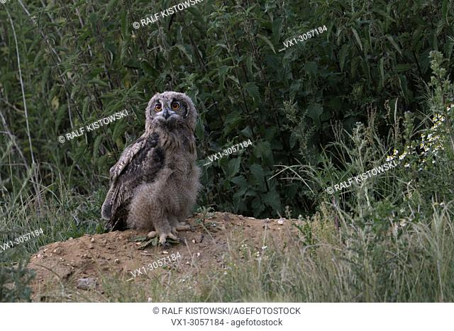 Eurasian Eagle Owl ( Bubo bubo ), young bird, standing exposed on a little hill, looks courageous, exploring its habitat, wildlife, Europe
