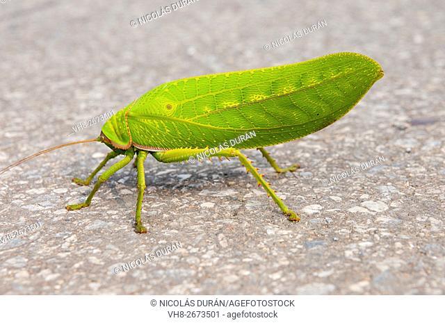 Stick insect. Son La province. Vietnam