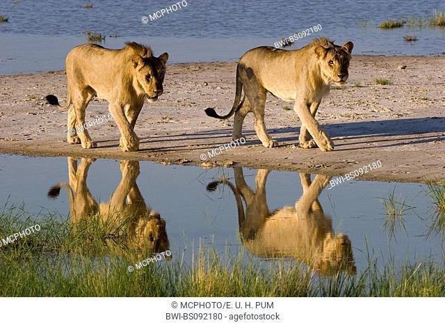 lion (Panthera leo), two young males at a waterhole, Namibia, Etosha National Park
