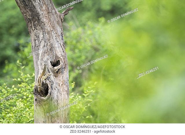 Five-striped Palm Squirrel (Funambulus pennantii) on tree trunk near nest hole. Keoladeo National Park. Bharatpur. Rajasthan. India