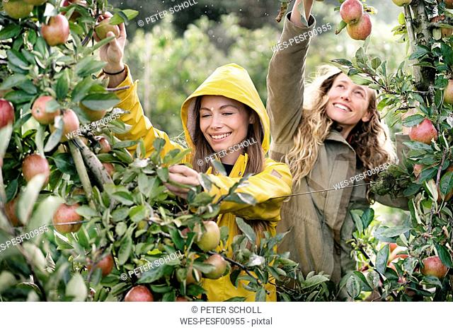 Two smiling women harvesting apples from tree in rain