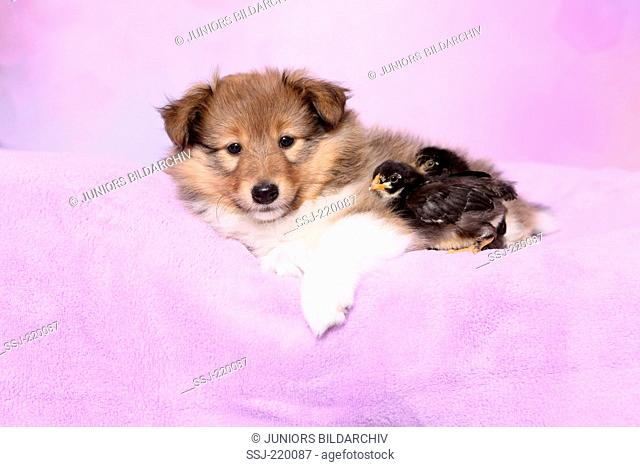 Shetland Sheepdog. Puppy (6 weeks old) and two chickens lying on a pink blanket. Studio picture against a pink background