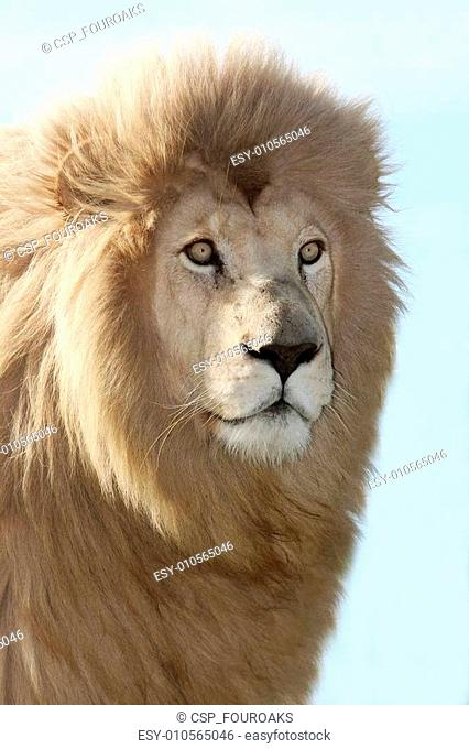 Magnificent Lion Portrait