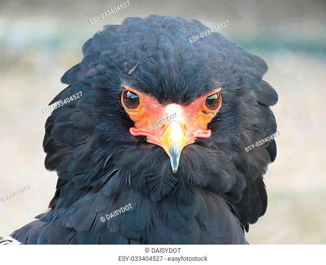 Bateleur Eagle at a birds of prey centre