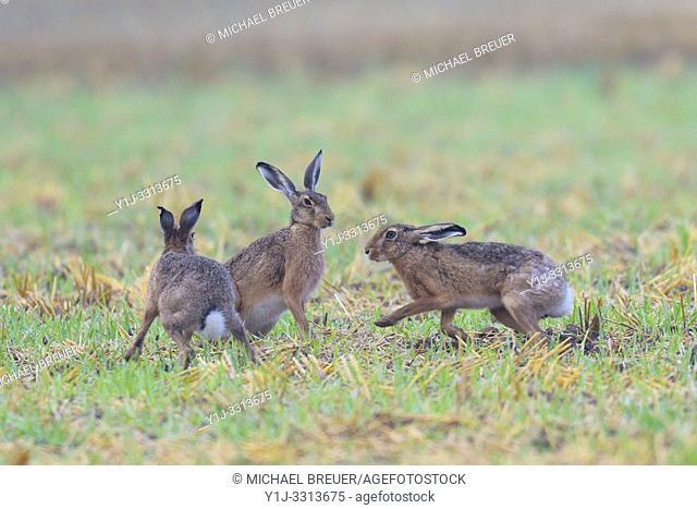 European brown hares (Lepus europaeus) in springtime, Hesse, Germany, Europe