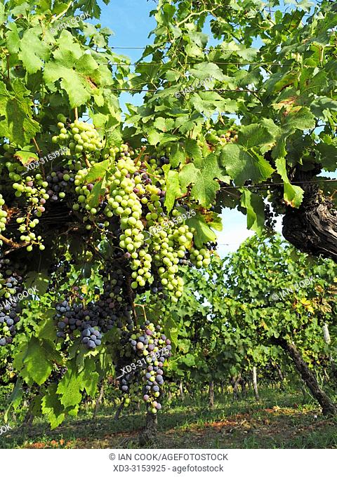 grapes in a vineyard ready to harvest, Lot-et-Garonne Department, Nouvelle-Aquitaine, France