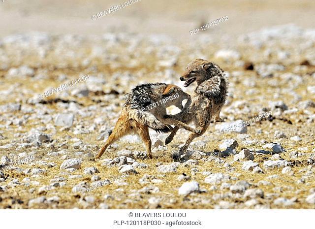 Black-backed jackals Canis mesomelas fighting, Etosha National Park, Namibia