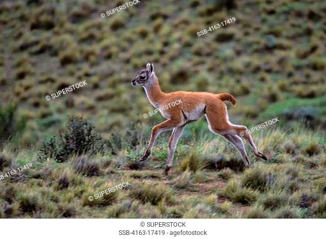 CHILE, TORRES DEL PAINE NAT'L PARK, GUANACO BABY CHULENGO, AT PLAY
