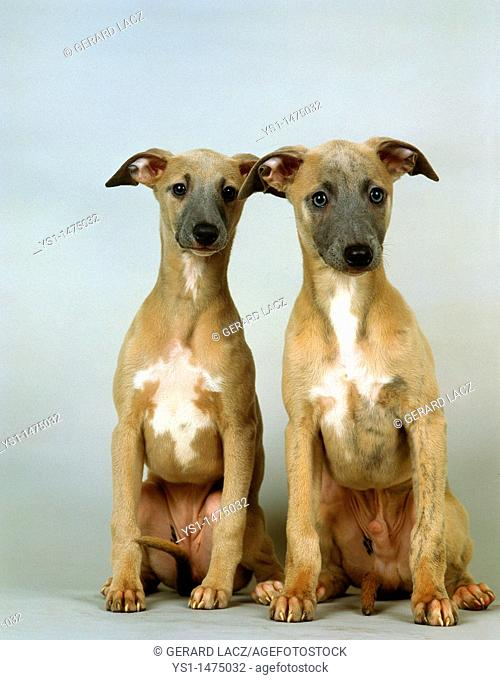 Whippet Dog, Pup sitting against White Background