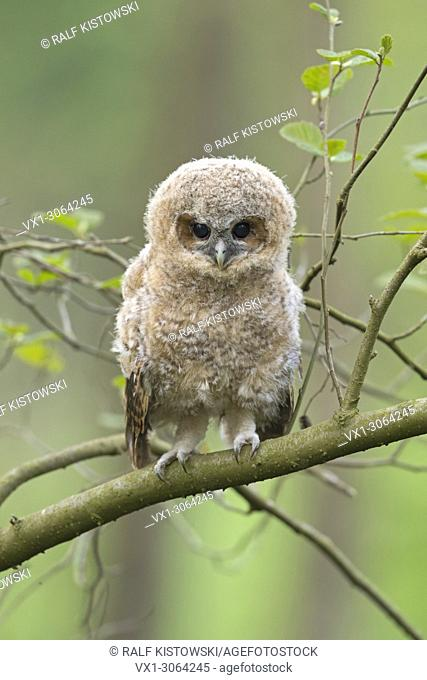 Tawny Owl / Waldkauz ( Strix aluco ), young, cute fledgling, owlet, moulting chick, perched on a branch, its dark brown eyes wide open, wildlife, Europe
