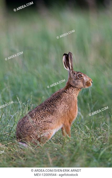 European Brown Hare - adult hare - Germany